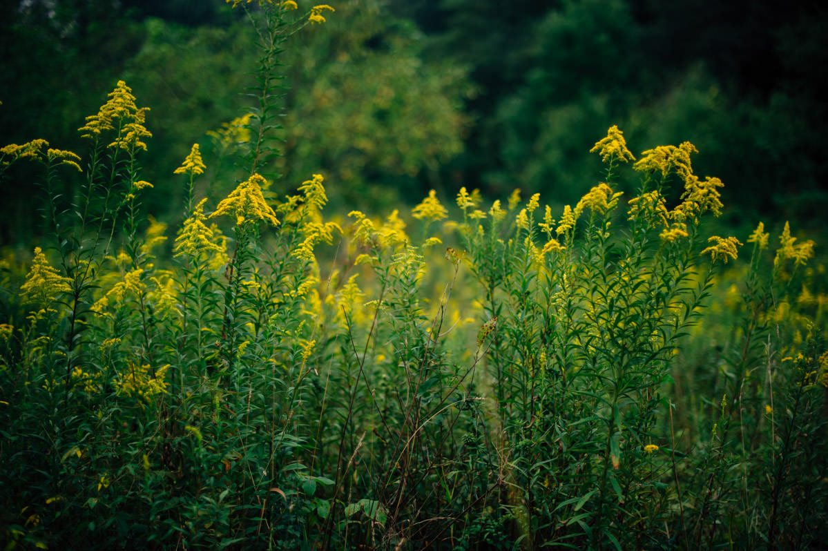 goldenrod flowers long point trail wv west virginia