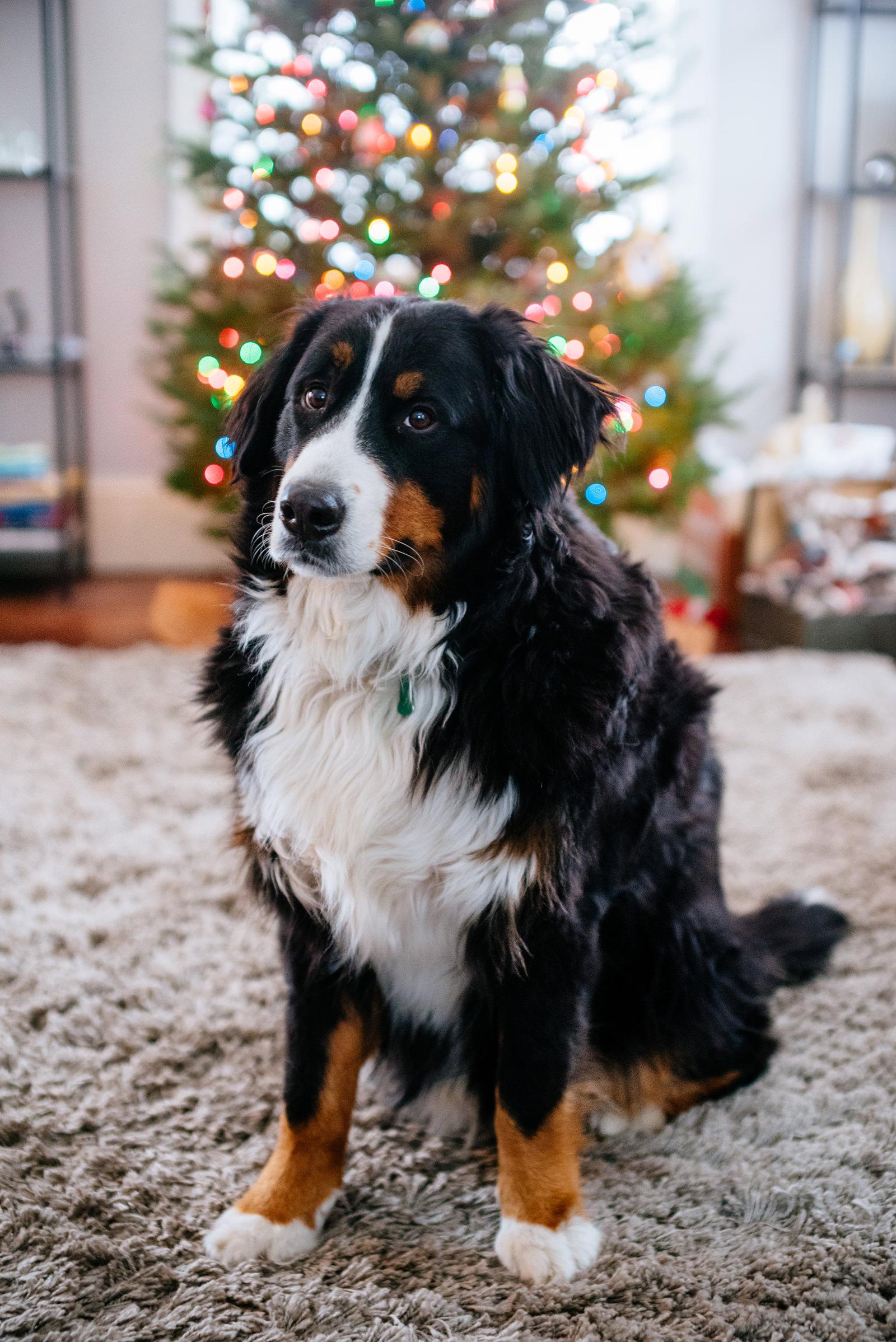 holiday family photos festive christmas doggo