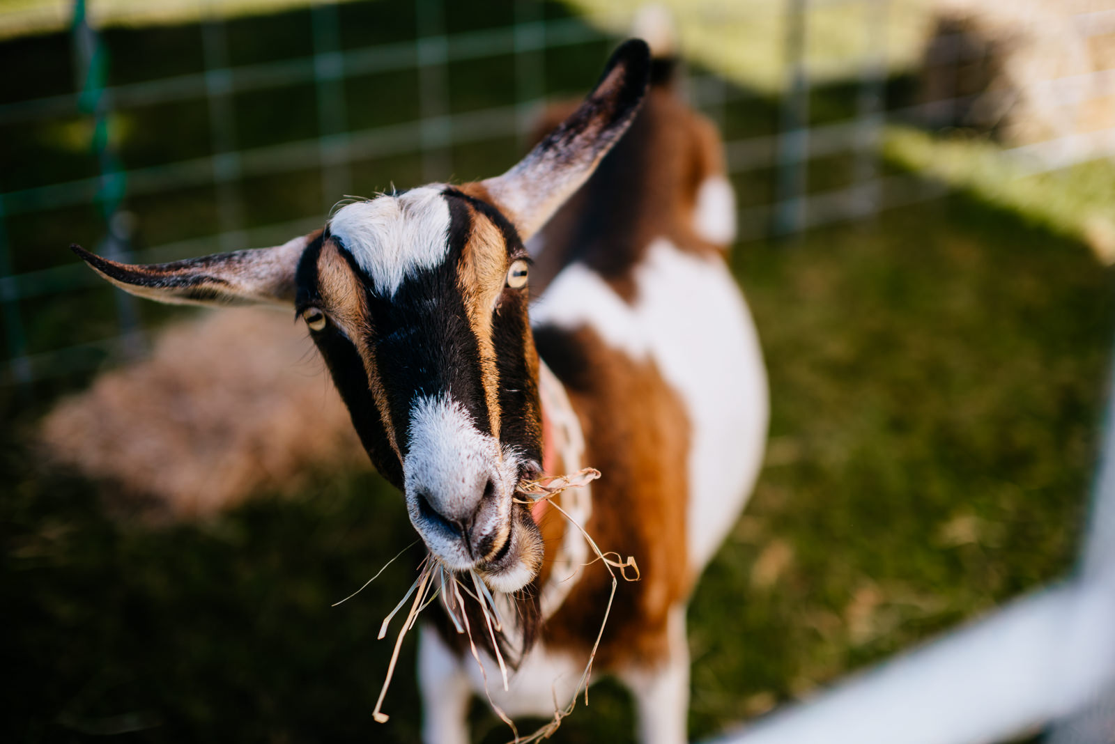 hungry goat eats straw wv farm wedding
