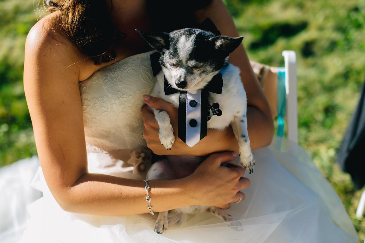 bride holding happy chihauaha